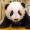 Panda701